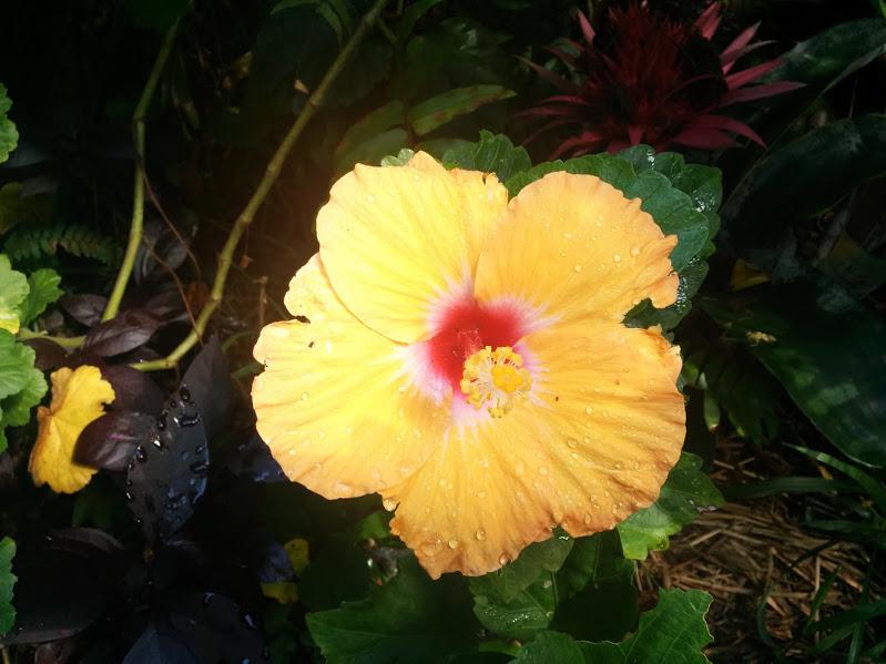 yellow hibiscua