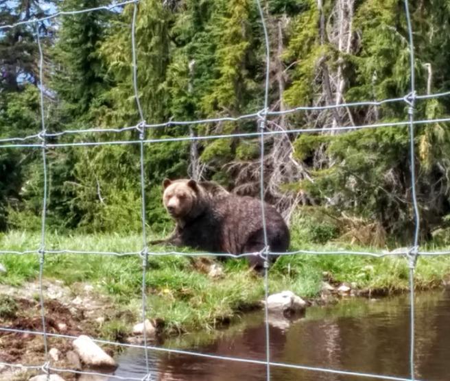 grouse bear