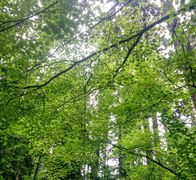 leafy canopy