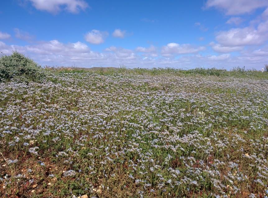 blue-flowers-broken-hill