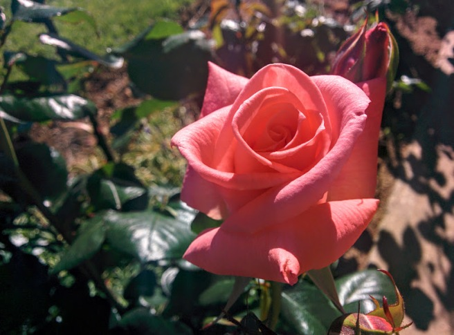 early-rose