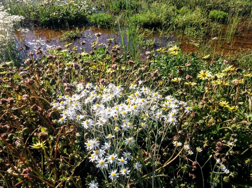 wildflowers-in-nyngan