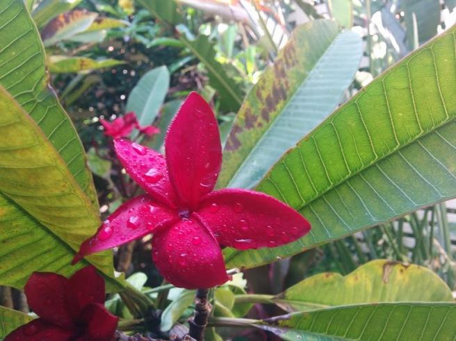 red-frangipani
