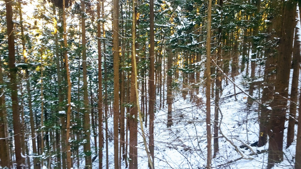 snow forest 3