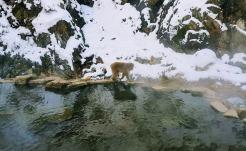snow monkey 1